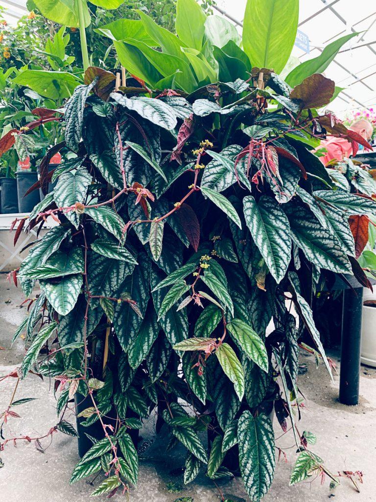 Ted Lare Garden Center Cissus Discolor Des Moines Iowa